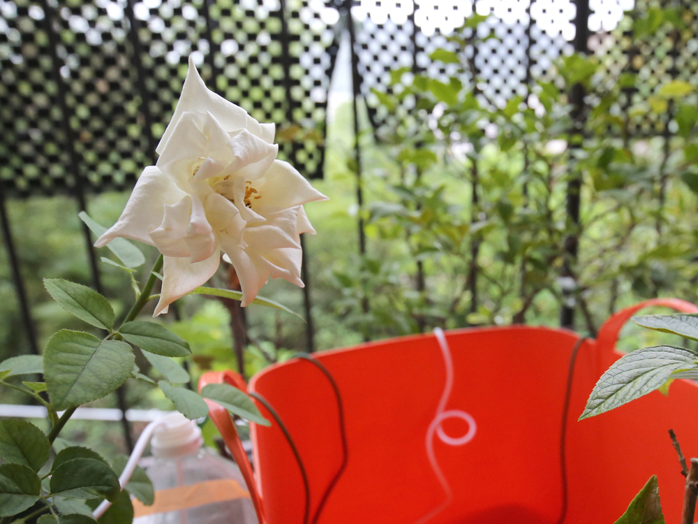 留守中に咲いたバラ