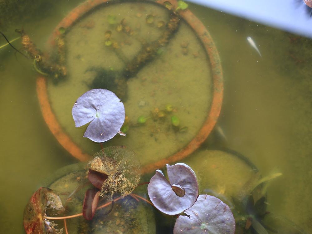 水が濁り、メダカもほとんど動かなくなった水鉢