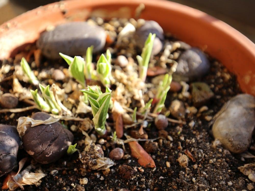 ぎぼしの芽