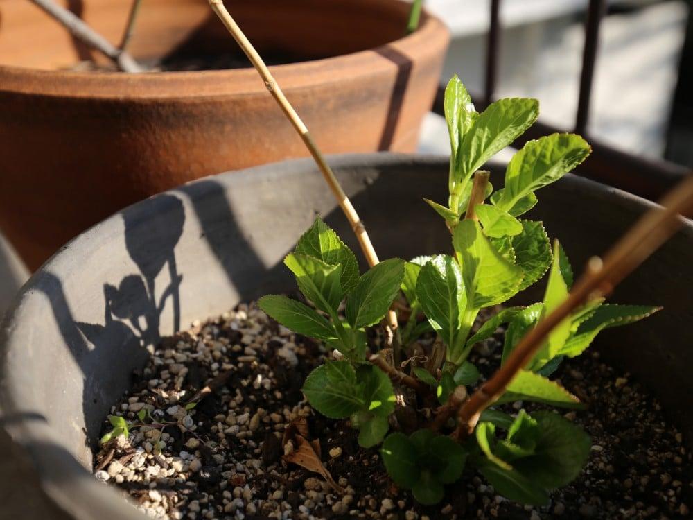 芽が出てきたアジサイ