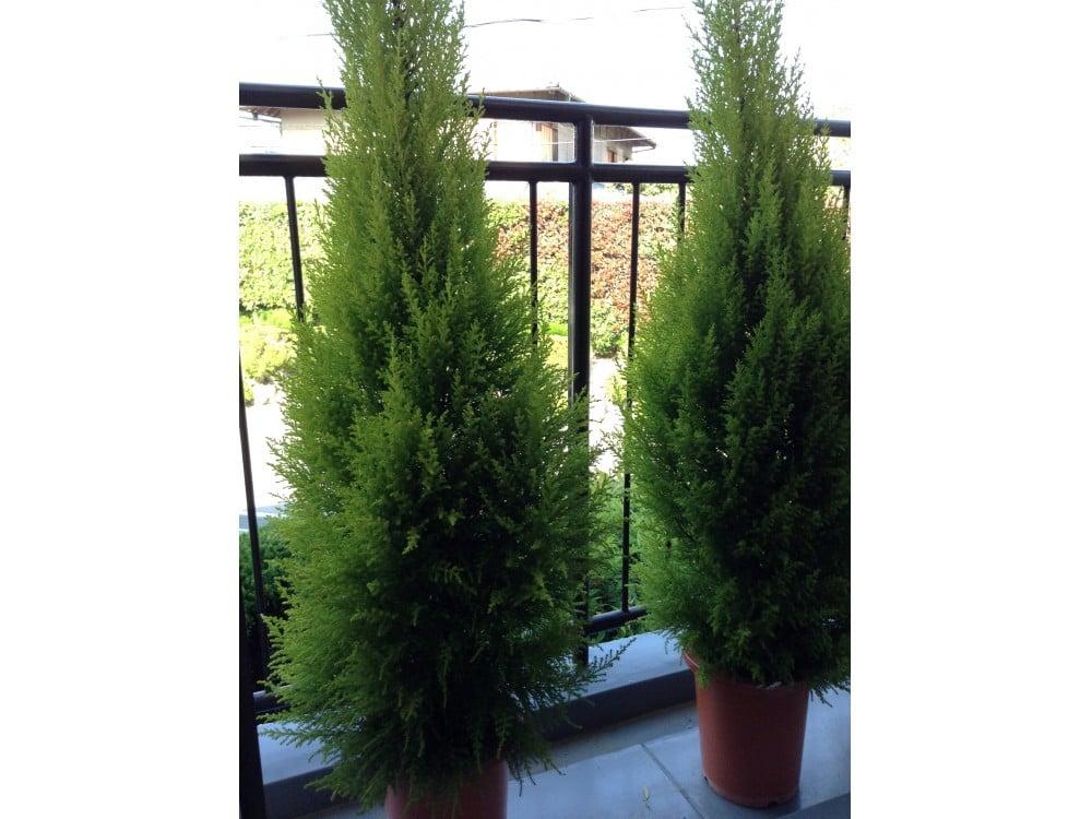 ゴールドクレスト (植物)の画像 p1_11