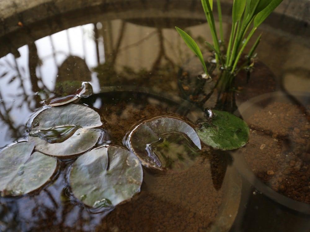 水鉢に入れたナガバオモダカ