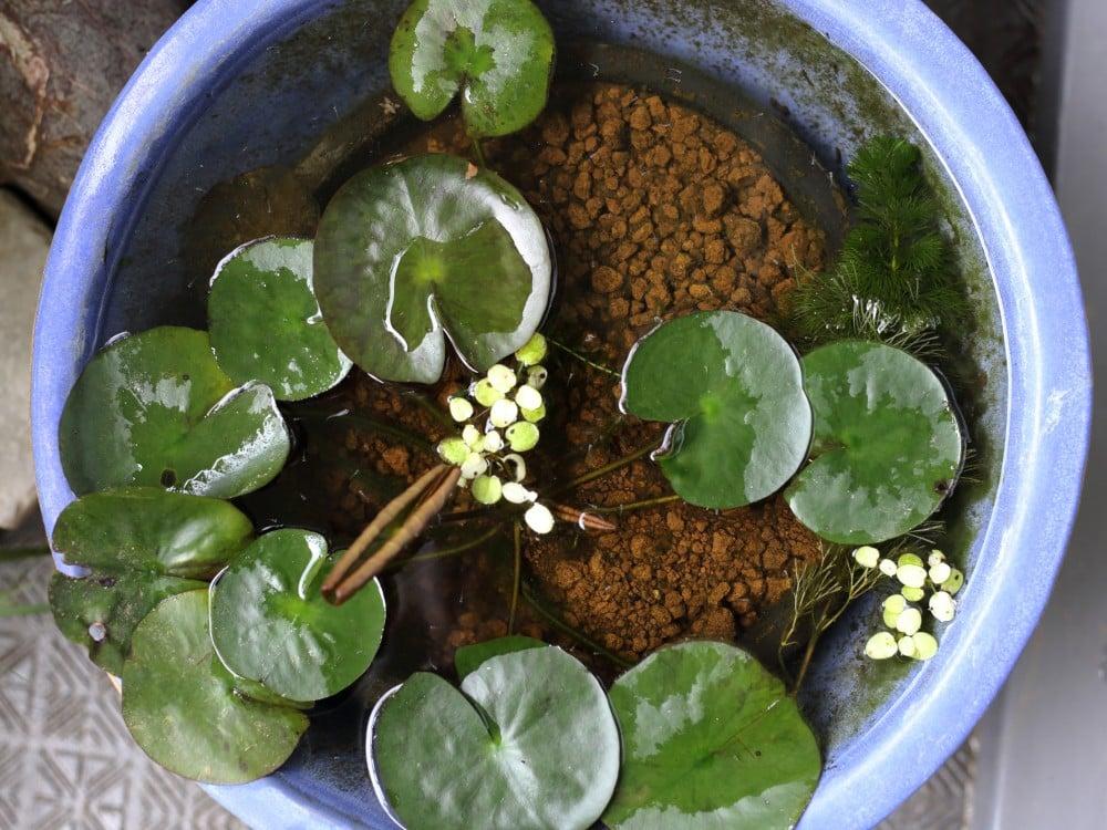 スイレンの水鉢