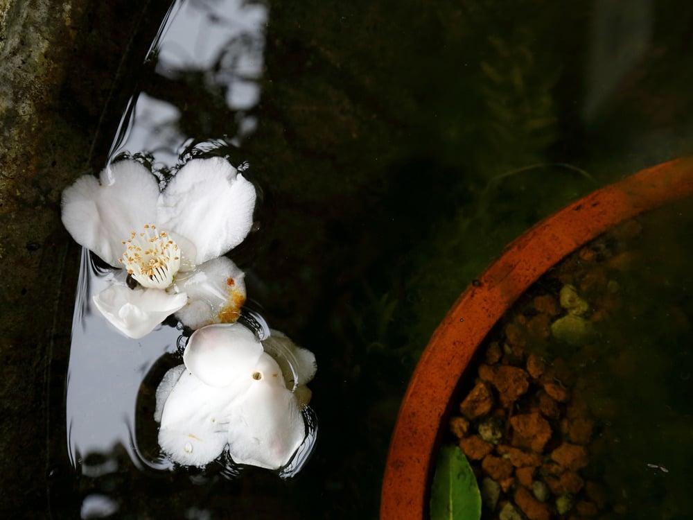 水鉢の中のツバキの花