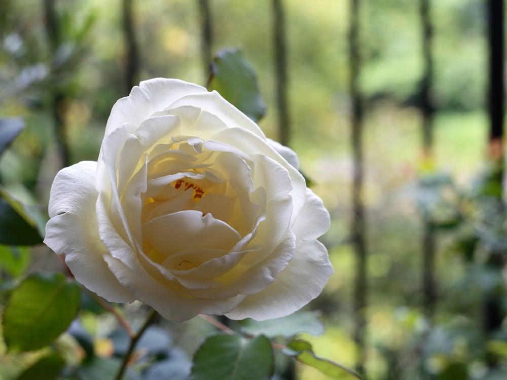 バルコニーに置いてあるバラ