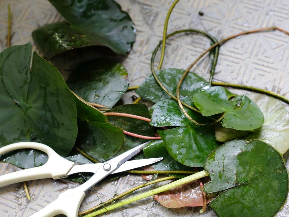 剪定した睡蓮の葉