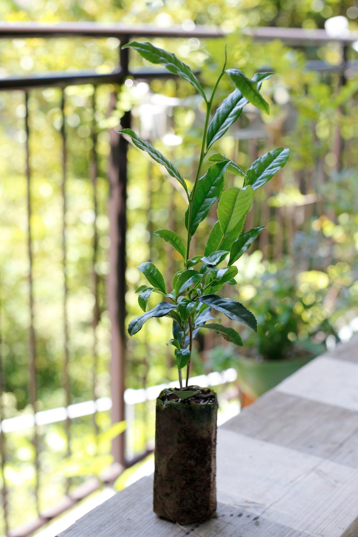 今回買ったお茶の木