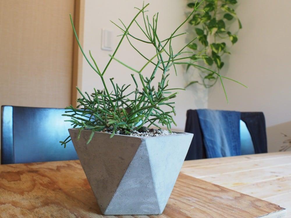 モルタル製の植木鉢に植わったリプサリス