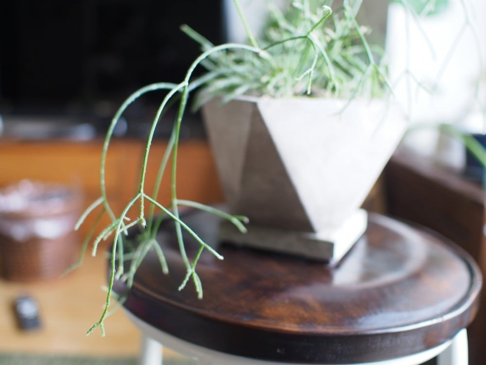 枝垂れ柳のように伸びるリプサリス