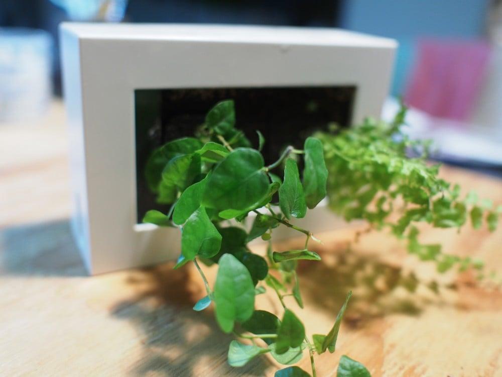 フィカス・プミラとツデイを植えた
