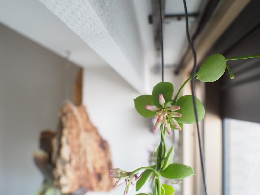 2016/5/15時点のカンガルーポケットの花