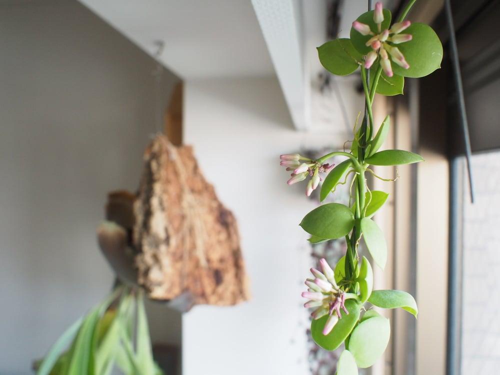 カンガルーポケット、開花。