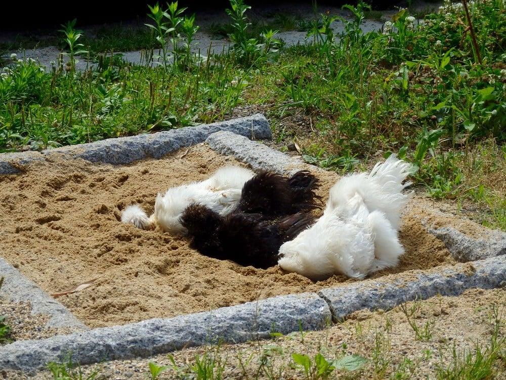 庭の砂場で砂浴びする鶏