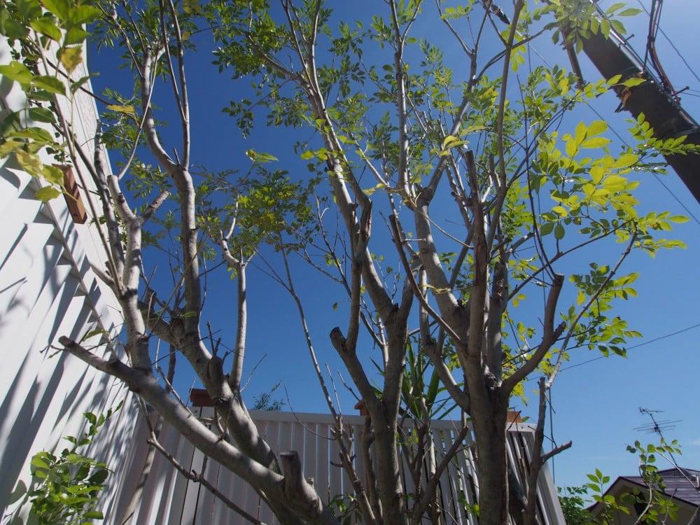 青い空に映えるシマトネリコ