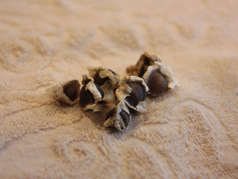 モリンガの種たち